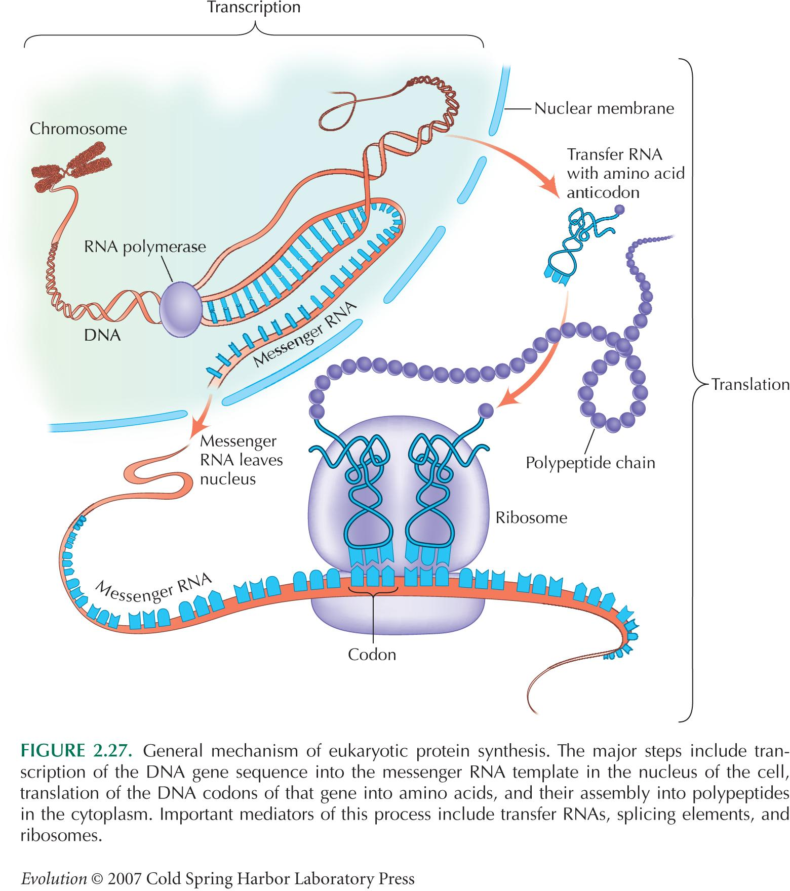 Figure 227 General Mechanism Of Eukaryotic Protein ...